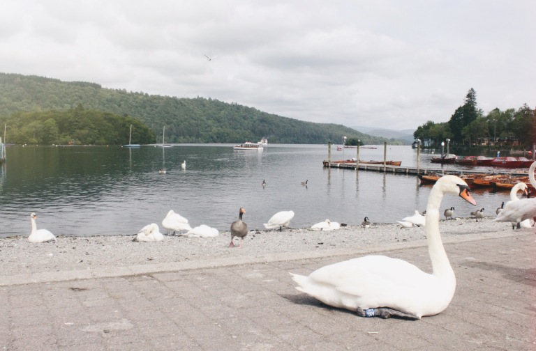 the-nat-channel-england-britain-lake-district-windermere-swan